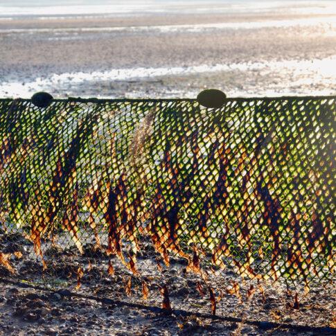Im Watt von Fischern aufgestelltes Netz, voll behängt mit Algen