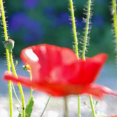 Mariella Knabe - Unschärferelation - Hier sind nur die Farben und das Licht im Fokus. Die Blüte leuchtet in weichem Licht, das Blau im Hintergrund bildet einen wunderbaren Kontrapunkt