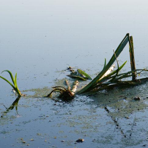 Sumpfschwertlilie, die Rhizome schwimmen an der Wasseroberfläche, der Hintergrund ohne Horizont, unfassbar