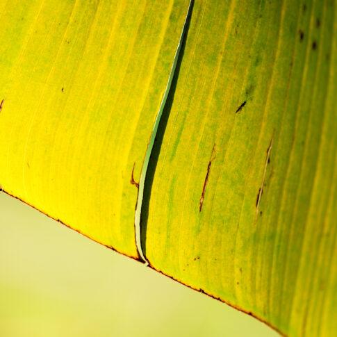 Das Bananenblatt, rückseitig von der Sonne durchleuchtet, wirkt wie ein Sonnen-Schirm