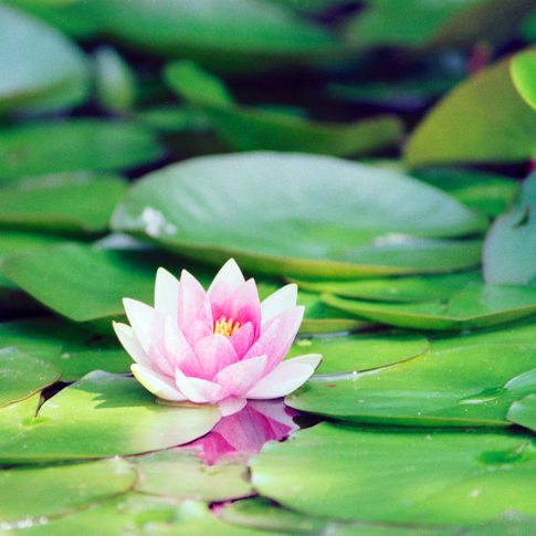einzelne rosafrabene Teichrose, Blütenblätter spiegeln sich im Wasser