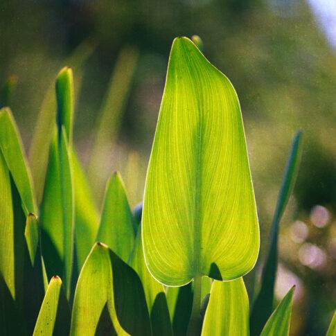 Sumpfpflanze, im Gegenlicht sind die feinen Linien der Blattstruktur und der fast durchsichtige Blattrand zu erkennen