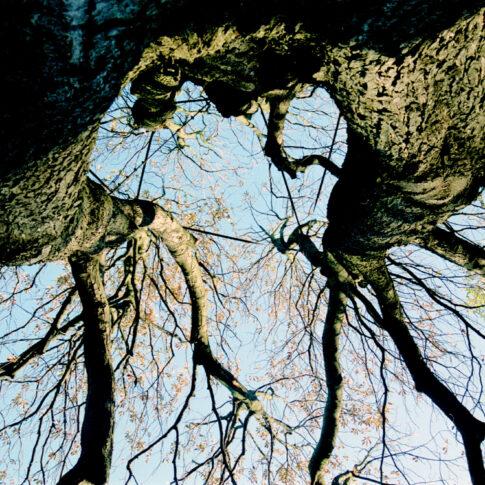 Mariella Knabe - Bismarck-Baum - Uralte Weide, schon mit Stahlbändern gegen Auseinanderbrechen gesichert, ragt in den Herbsthimmel beim Bismarck-Denkmal oberhalb des Hamburger Hafens