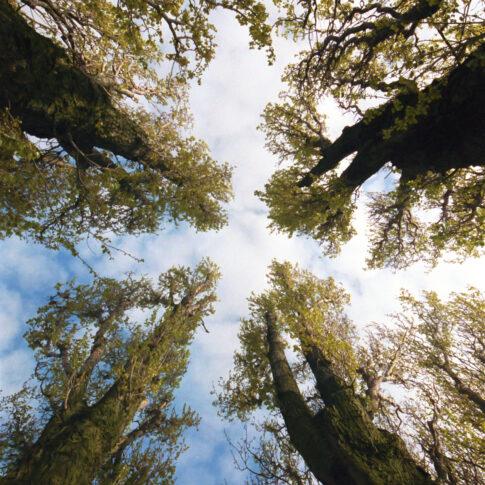 Pappeln am Maschsee-Ufer in einem Geviert gepflanzt recken ihre langen Arme in den Himmel