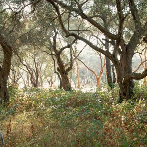 Korkeichenwald auf Korfu
