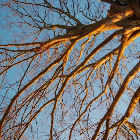 Baum gegen den blauen Abendhimmel von der winterlichen Abendsonne in feuerrotes Licht getaucht