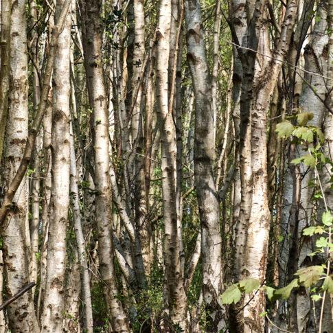 Mariella Knabe - Den Wald vor lauter Bäumen - Birkendickicht im Frühjahr