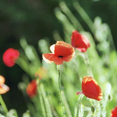 vor dem Hintergrund unzähliger weiterer Mohnpflanzen weht diese eine Blüte im Sommerwind