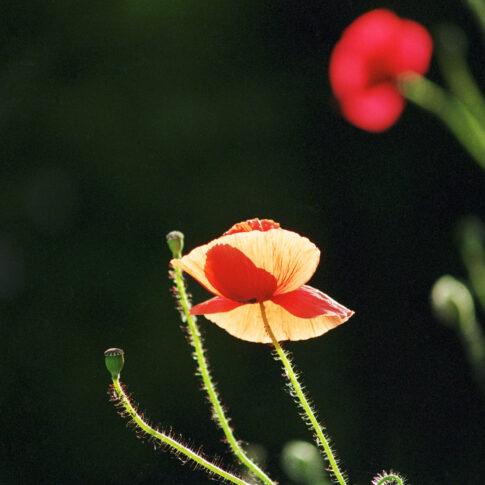 so zart, so fein und filigran scheinen die einzelnen Blütenblätter im Sonnenlicht, dass man glaubt, sie zerbrechen bei der geringsten Berührung